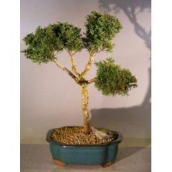 China Shimpaku Juniper Bonsai Tree(juniperus chinensis) on sale