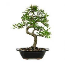 China CHINESE ELM BONSAI TREE - LARGE on sale