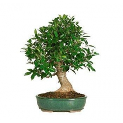 China GOLDEN GATE FICUS BONSAI TREE - EXTRA LARGE on sale