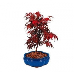 China RARE JAPANESE RED MAPLE BONSAI TREE on sale