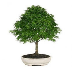 China JAPANESE MAPLE BONSAI TREE on sale