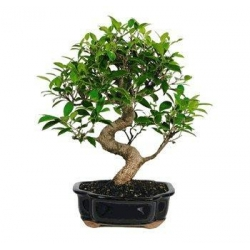 China GOLDEN GATE FICUS BONSAI TREE - LARGE on sale