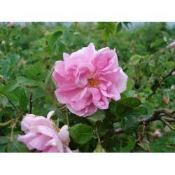 China Rose Concrete on sale