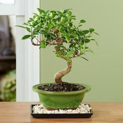 China Golden Gate Ficus Bonsai NO.15 taipei plant delivery on sale