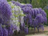 China Sell seedlings Wisteria. supplier