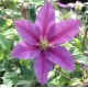 China Climbers Clematis Evening Star on sale