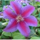 China Climbers Clematis Fireworks on sale