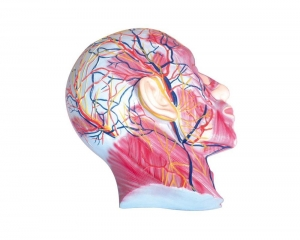 China Superficial muscles of facial nerves and blood vessels on sale