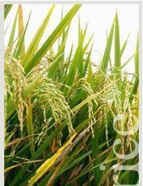 China Premium Basmati Rice on sale