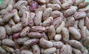 China Chinese Light Speckled Kidney Beans Long Shape on sale