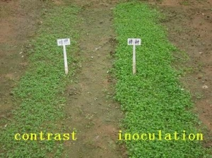 China Green Manure Rhizobium Preparations Effect of Product Application on sale