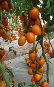 China Variety name:Jinzuan yellow cherry tomato seeds on sale