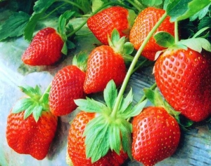 China Variety name:JSB01 Rose queen strawberry seeds for sale, strawberry seeds on sale