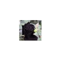 China Black Rose - Seeds on sale