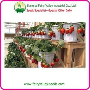 China Pot Flower Sweet Red Strawberry Seeds-Very Beautyful Landscape on sale
