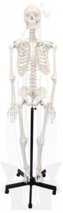 China Human Articulated Skeleton on sale