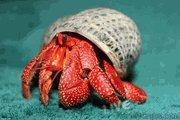 China Hermit Crab ***Out Of Stock*** Strawberry Hermit Crab (Coenobita perlatus) Dozen on sale