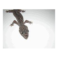 C.A. Banded Gecko