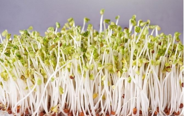 China Fresh foods IQF Bean Sprouts