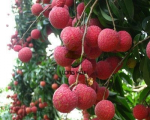 China Fresh foods Fresh Lychee wholesale