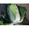 China fresh cabbage chinese cabbage chinese beijing cabbage long cabbage price for sale