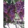 China Fresh red golble grape strong quality for sale