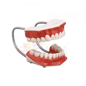 China Oral care model Oral Cavity Cleaning Model (With Tongue) on sale