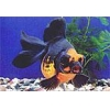 China Ornamental Fish Red and Black Moor With Butterfly Tail for sale