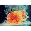 China Ornamental Fish Red Lionhead for sale