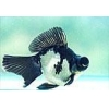China Ornamental Fish Black and White Moor for sale