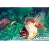China Ornamental Fish Chocolate and Blue Moors for sale