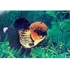 China Ornamental Fish Red and Black Tigerhead for sale