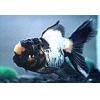 China Ornamental Fish Blue and White Tigerhead for sale