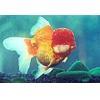 China Ornamental Fish Red Tigerhead for sale