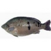 China Fish fry Jade Perch for sale
