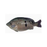 China Fish fry Jade Perch on sale