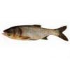China Fish fry Bighead carp for sale
