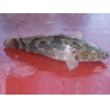 China Fish fry Soon Hock for sale