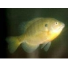 China Fish fry Sunfish for sale