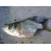 China Fish fry Bullhead for sale