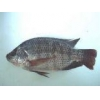 China Fish fry Tilapia for sale