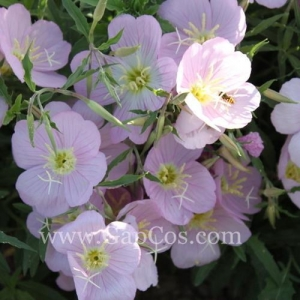 China High Quality Evening Primrose Extract/Oenothera Biennis Seed Extract/Scabish Extract on sale