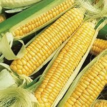 China Golden Bantam Yellow Sweet Corn Heirloom on sale