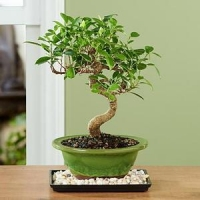 China Golden Gate Ficus Bonsai NO.15 deliver plant to shanghai on sale