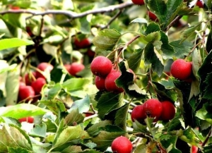 China Hawthorn Berry Extract on sale