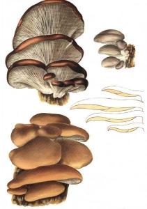 China Oyster mushroom Extract on sale