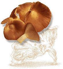 China Oyster Mushroom on sale