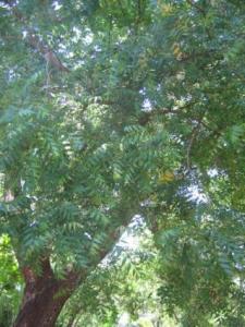 China Neem Leaf Powder on sale