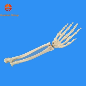 China Forearm with hand bone,articulated model on sale