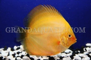 China Discus fish on sale